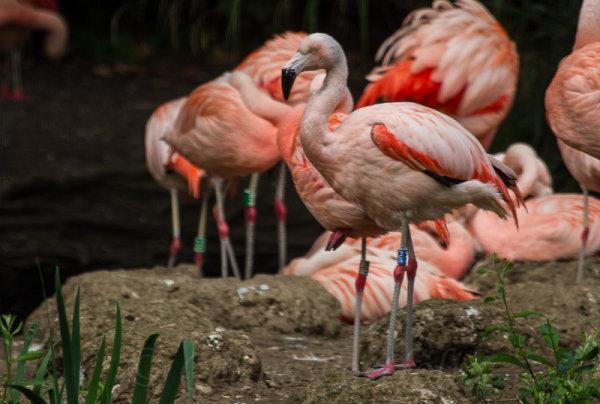 Chilean Flamingo's