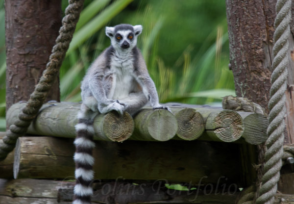 Lemur (Ring Tail)