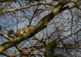 A grey squirrel amongst the bare branches