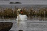 Swan on Lough Eske