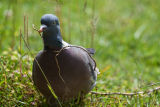 A woodpidgeon collecting nesting material