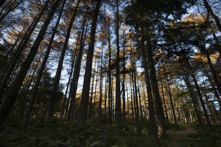 autumn pines