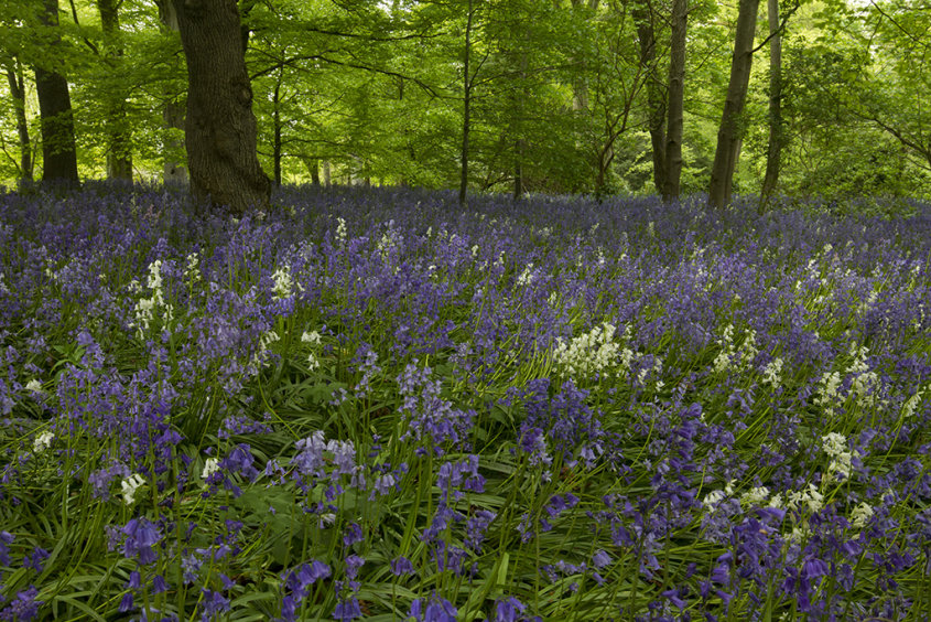 bluebells, fyvie woods