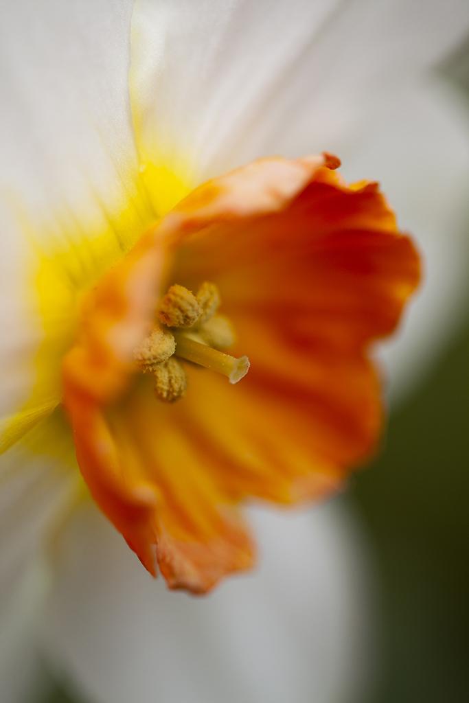 daffodil close-up
