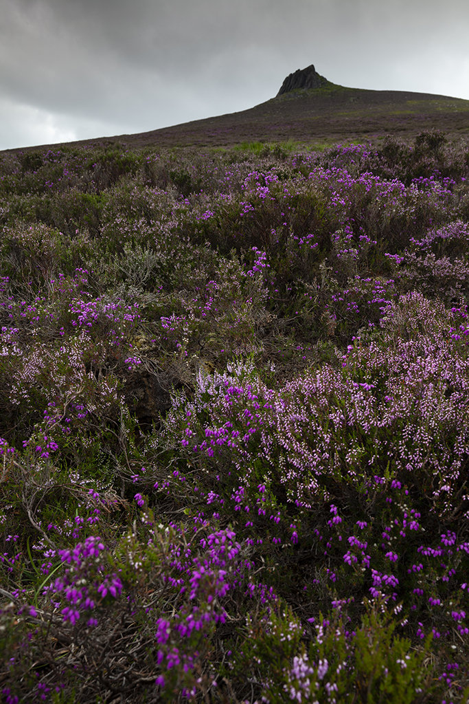 heather on clachnaben