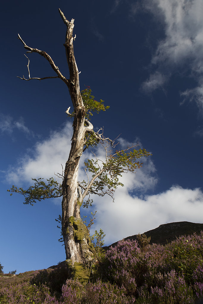 lone tree by loch muick