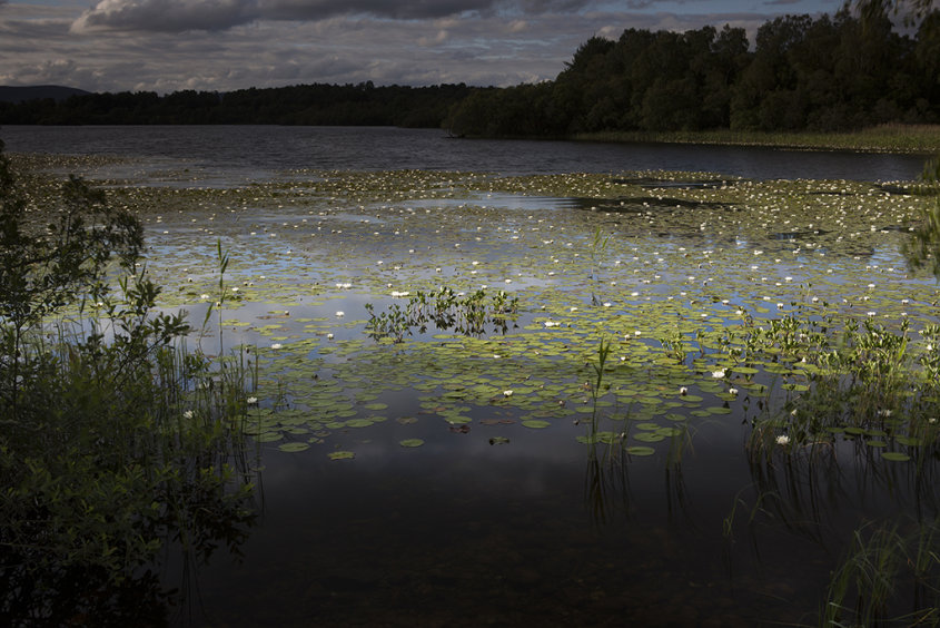 water lilies on loch kinord