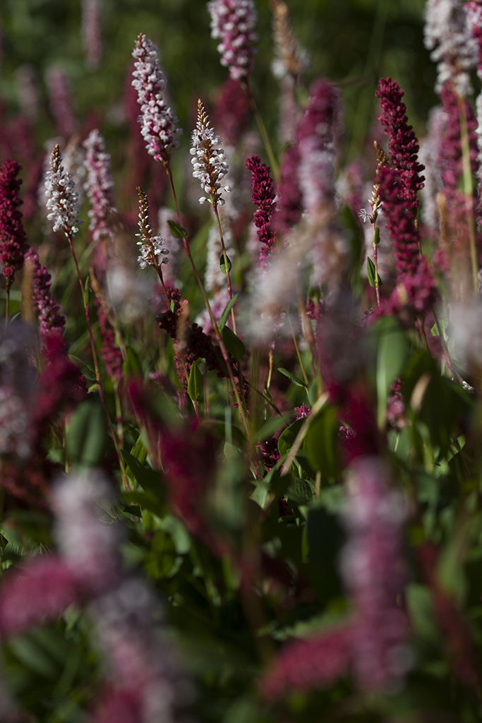 white and red persicaria