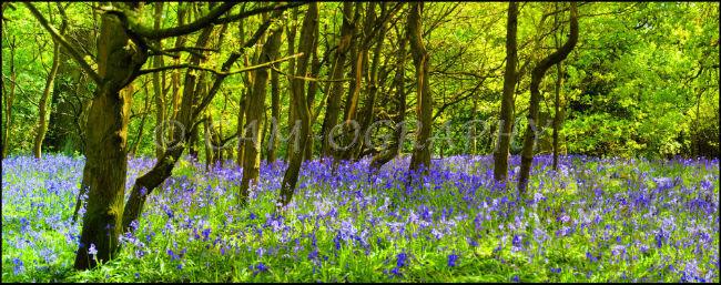 Burton bushes Bluebells 1
