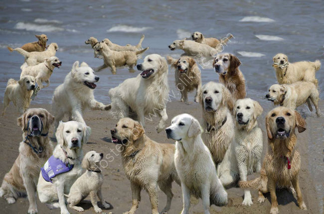 Burtoncroft Golden retrievers