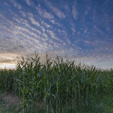 CSL054-Corn Field-4834
