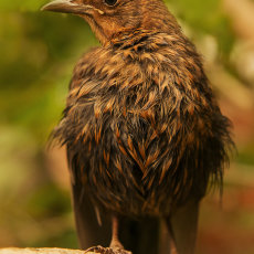 CSL063-Female Blackbird After a Bath-3507