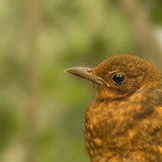 CSL064-Posing Female Blackbird-3524