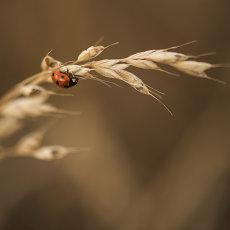 CSL068-Seven Spot Ladybird-4292