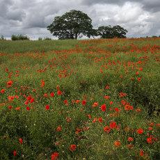 CSL024-Poppy Field North Yorkshire-3923
