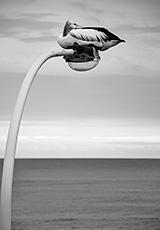 'Pelican @ Nobbys'