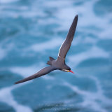 Inca Tern 004
