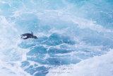 Rockhopper Penguin 001