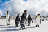 King Penguin 002