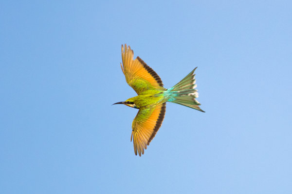 Bee-eater 03