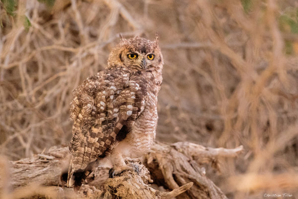 Spotted Eagle Owl 01