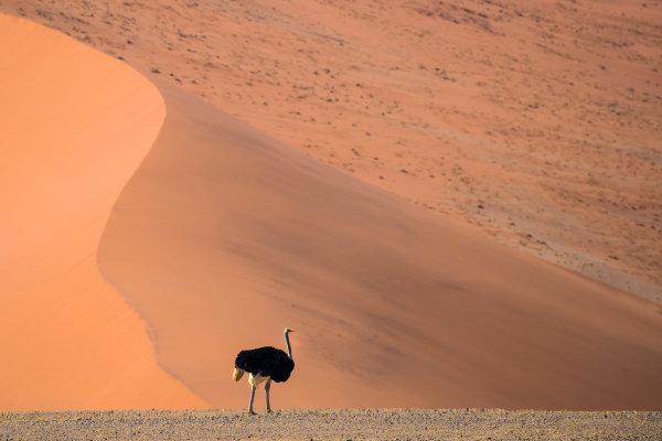 Ostrich 04