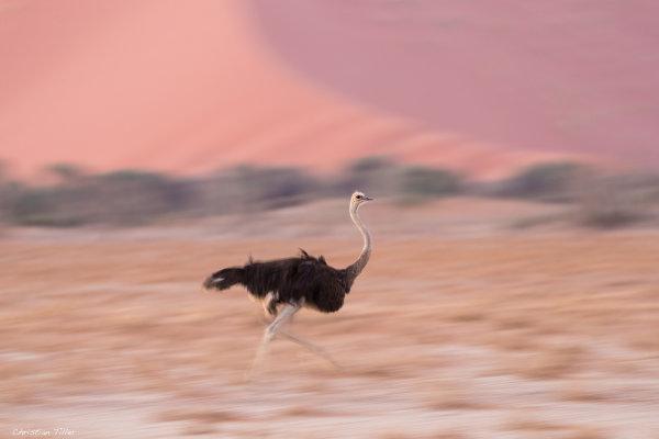 Ostrich 07