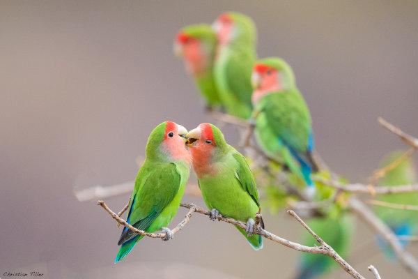 Rosy-faced Lovebird 02