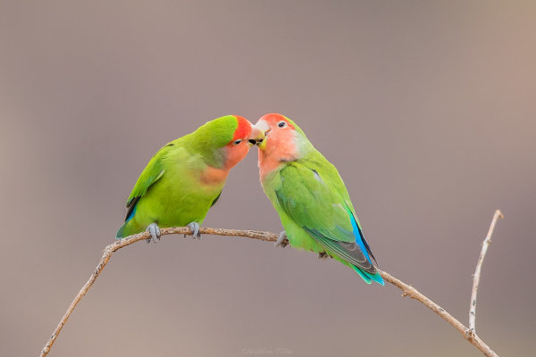 Rosy-faced Lovebird 01