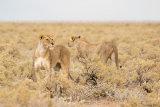 Lion 09