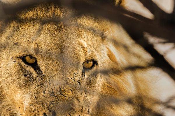 Lion 03