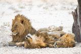 Lion 06