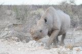 Black rhino 04