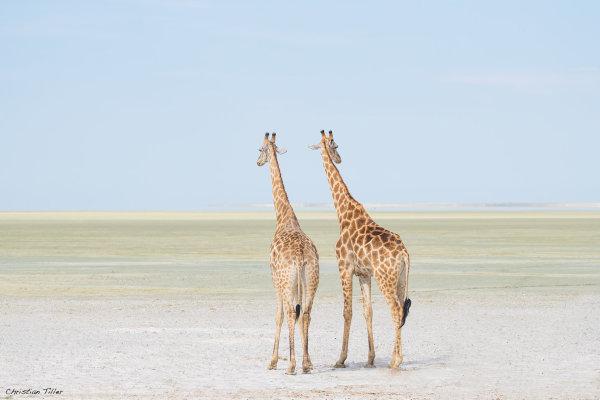 Giraffe 05