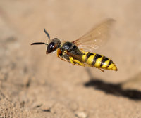 Bee wolf wasp