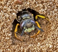 Bee wolf wasp in burrow