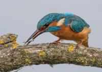 Kingfisher beating stickleback