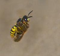 bee wolf wasp  carrying honeybee prey