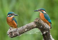 pair of juvenile kingfishers