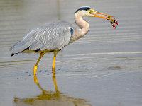 grey heron with crayfish