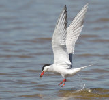 Comment tern fishing