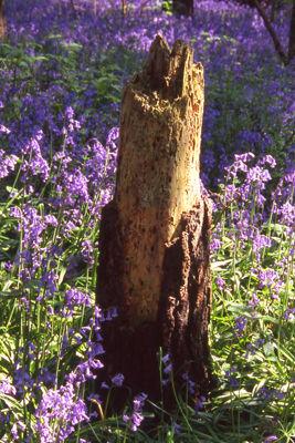 Bluebell Stump