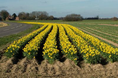 Lincolnshire Daffs