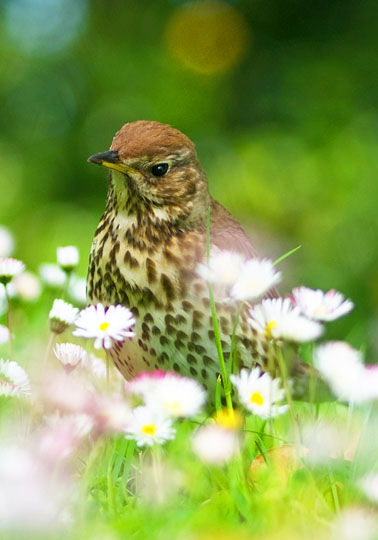 Song Thrush & Daisies