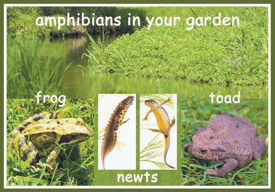 Garden Amphibians
