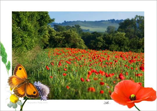 Bedfordshire Poppy Fields