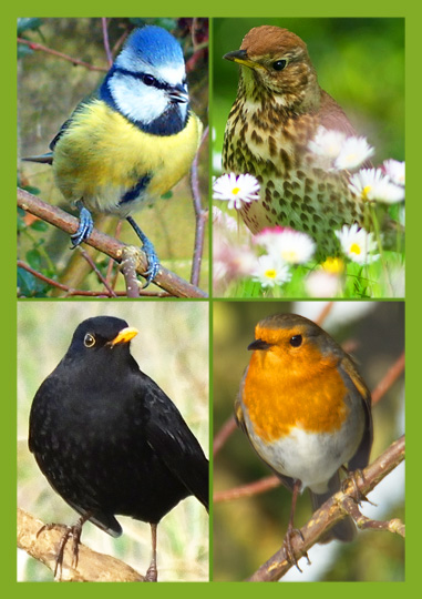 Common Garden Birds (Medium)