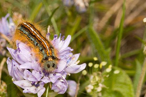 Caterpillar of the