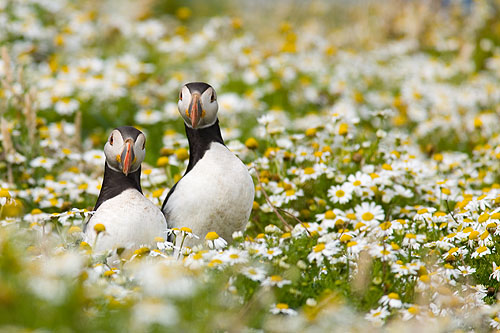 Puffins in July