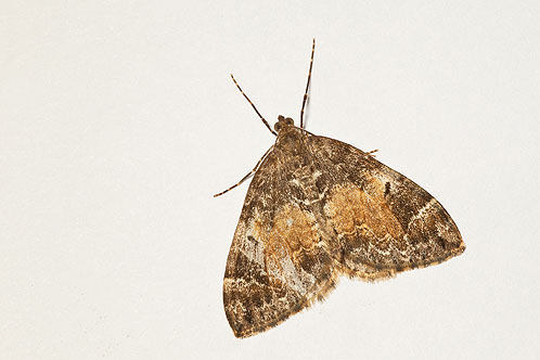 Common Marbled Moth